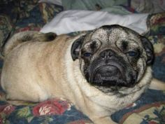 Little pug says: Dis my impression of you!