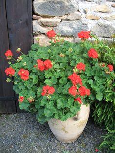 geraniums <3