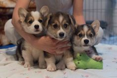 trinketbaby: Family portrait with Trigger's two brothers; I'll take all three