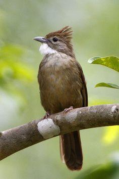 The ochraceous bulbul is a songbird found in Brunei, Cambodia, Indonesia, Malaysia, Burma, Thailand, and Vietnam.