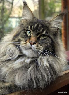 What is the Average Maine Coon Lifespan www.mainecoonguid The post What is the Average Maine Coon Lifespan appeared first on Katzen. Chat Maine Coon, Maine Coon Kittens, Cats And Kittens, Cats Meowing, Ragdoll Kittens, Tabby Cats, Funny Kittens, Bengal Cats, White Kittens