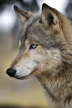 Alert Timber Wolf Portrait. Alert Timber Wolf (Canis lupus) Portrait - captive a #Sponsored , #Advertisement, #ad, #Timber, #lupus, #captive, #Wolf Wolf Images, Wolf Photos, Wolf Pictures, Free Pictures, Beautiful Wolves, Animals Beautiful, Cute Animals, Of Wolf And Man, Malamute