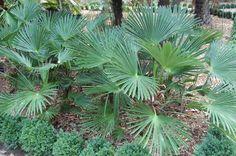 Trachycarpus sabal