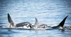 Marine mammal populations areat risk of extinction because of PCB contamination. The study, published in the journal Scientific Reports, researchers compiled