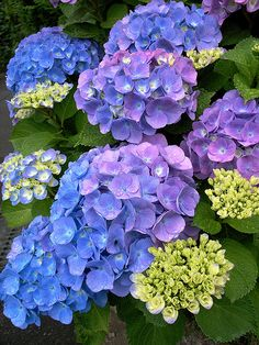Hydrangea, I'm having problems with mine, I have't been getting any blooms