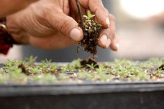 A lavender seedling is carefully repotted.