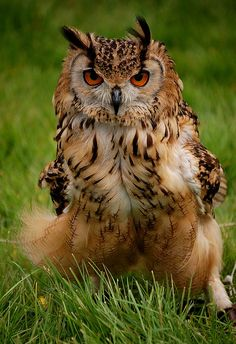 Eagle Owl by Bawmer, via Flickr