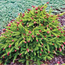 Acrocona Pusch Dwarf Norway Spruce