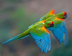 Pair of Red-fronted Macaws