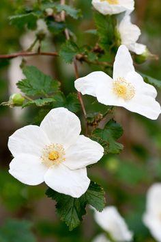 Rubus 'Benenden', a beautiful rasperberry that gives no fruit.