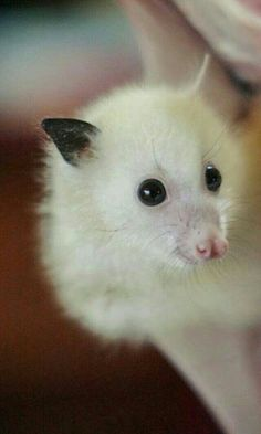a white bat . Nature Animals, Animals And Pets, Baby Animals, Cute Animals, Cute Creatures, Beautiful Creatures, Animals Beautiful, Baby Bats, Fruit Bat