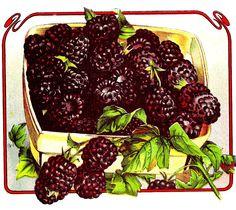 Vintage Fruit Clip Art Graphic Of Blackberries In Basket