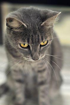 golden eyes  - blue gray cat