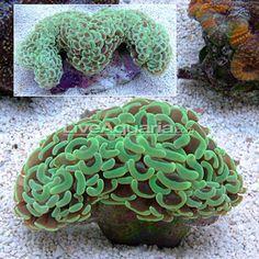 Hammer / Anchor Coral (Euphyllia ancora)