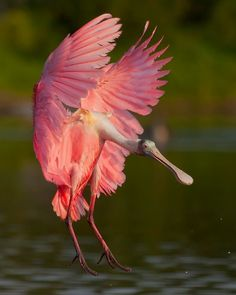 Spoonbill... saw this bird fly right over my head in a river in Costa Rica!