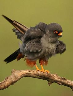 Red-Footed Falcon is a bird of prey. It belongs to the family Falconidae, the falcons. This bird is found in eastern Europe and Asia although its numbers are dwindling rapidly due to habitat loss and hunting. It is migratory, wintering in Africa. It is a regular wanderer to western Europe, and in August 2004 a Red-footed Falcon was found in North America for the first time on the island of Martha's Vineyard, Massachusetts. Source: http://en.wikipedia.org