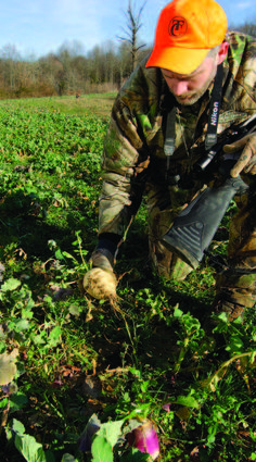 By Bill Winke           When brassicas are bulb forming, deer will definitely learn to eat the bulbs. Generally, the bulbs are most ...