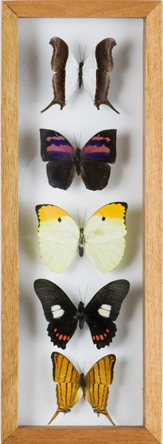 5 butterfly display