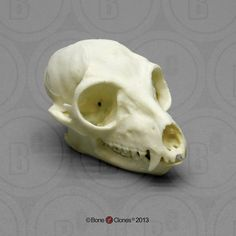 Ring-tailed Lemur Skull - Bone Clones, Inc. - Osteological Reproductions