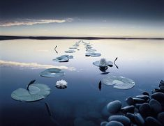 water lilies - Pixdaus. A vision of tranquility.  posted by:  volker.