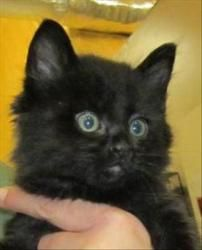 13-05-1686a is an adoptable Domestic Long Hair Cat in Dallas, GA.  Primary Color: Black Age: 0yrs 0mths 7wks...
