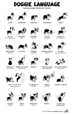 Doggie language, starring Boogie the Boston Terrier ~by Lili Chin