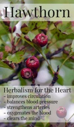 Hawthorn berries are a safe herbal medicine that improves circulation, regulates blood pressure, and eases other heart-related conditions. In this post, learn how to make a tincture from the berries that you can use at home. #HerbalMedicine