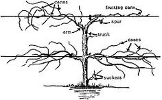 Pruning and training grape vines