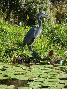 Great Blue Heron at Wakulla Springs