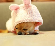 I love chihuahua's <3 my chi would look so cute in a bunny suit..lol