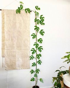Plant Magic Indoor Plant commonly known as the mini monstera because of the similar shaped leaves th Easy House Plants, House Plants Decor, Plant Decor, Common House Plants, Potted Plants, Garden Plants, Indoor Plants, Indoor Climbing Plants, Small Plants