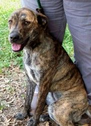 Brindle is an adoptable Plott Hound Dog in Manchester, NH. Courtesy post. Please contact Linda at HLM500@aol.com for more information. 7/7- pupdate- Brindle is one of the sweetest, most loving dogs th...