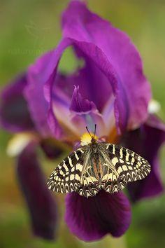 Southern festoon butterfly, beau à en avoir le souffle coupé, une fleur violette, violet énergie de la transformation, et un papillon libre comme l'air!