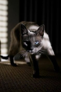 Russian Blue. These cats are amazing. They are lively, loving, and very much people cats. My old cat (Gyro) used to play fetch :)
