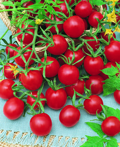 <p> Supersweet 100 (F1) Tomato Seed</p>