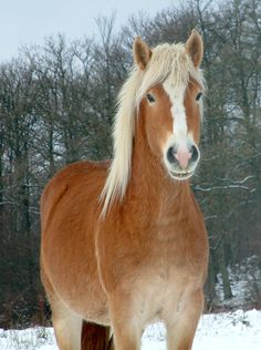 Had almost forgotten my favorite horse from when I was a little girl - the haflinger - it would be great to have one at my future homestead