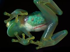 4.) See-through frogs.
