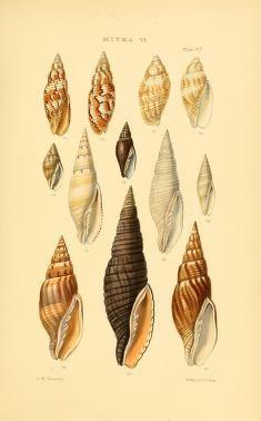 v.4 (1880) [Plates] - Thesaurus conchyliorum, or, Monographs of genera of shells - Biodiversity Heritage Library