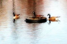 Geese in pond #4