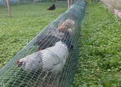 If you don't have space and your chickens are cooped up in small coop, or if you need some help gardening, we propose an unusual solution:DIY chicken tunnel Fancy Chicken Coop, Small Chicken Coops, Chicken Coop Run, Clean Chicken, Chicken Pen, Chicken Cages, Chicken Wire, Chicken Houses, Fancy Chickens