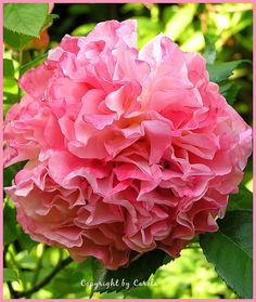 "Ruffled rose ""Augusta Luise""...doesn't look like other hybrid tea roses but still wonderful ♥"