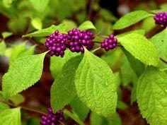 Le callicarpa ou arbuste aux bonbons : présentation et culture