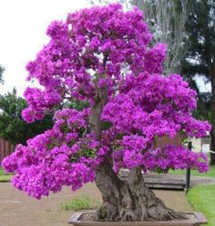 Bonsai Tree Ideas A Guide To Bonsai Trees For Beginners Bonsai Tree Ideas. The art form of bonsai can be a wonderful and unique hobby. Viewing and taking good care of a bonsai collection can be a r… Small Trees, Beautiful Flowers, Flowers, Trees To Plant, Japanese Garden, Plants, Bougainvillea Bonsai, Planting Flowers, Beautiful Tree