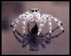 Spider Spiders #spider #spiders. I wouldn't hate spiders if they all looked as cute as this guy#sevimliörümcekler #örümcek#örümcekler