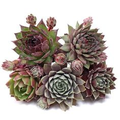 Individual succulent plugs are a great way to get an assortment of rooted succulents. Pick Sempervivum, Echeveria, or other soft succulents. Where To Buy Succulents, How To Water Succulents, Planting Succulents, Garden Plants, Overwintering, Pet Safe, Echeveria, Rosettes, Color Change