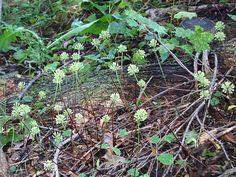 Allium tricoccum (ramps, wild leek): Go Botany