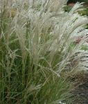 Miscanthus sinensis 'Kleine Fontaine' 1,5 lit. - eshop