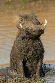 It's a real life Pumba! Male warthog that has been rolling in the mud. Nature Animals, Animals And Pets, Funny Animals, Cute Animals, Pictures Of Animals, Amazing Animal Pictures, Strange Animals, Baby Animals, Beautiful Creatures