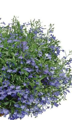 Lucia Dark Blue Lobelia has delicate blue blooms that trail nicely from a container or hanging basket. A gorgeous and unusual color for spring.