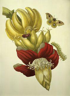 Maria Sibylla Merian - Atlas Obscura Banana Flower and Fruit, from Metamorphosis insectorum Surinamensium, 1705 Botanical Drawings, Botanical Art, Linocut Prints, Art Prints, Block Prints, Sibylla Merian, Banana Flower, Caribbean Art, Nature Artists
